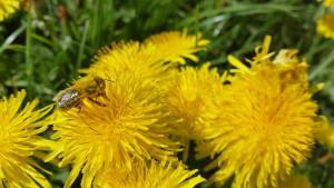 Und den Bienen schmeckt's.